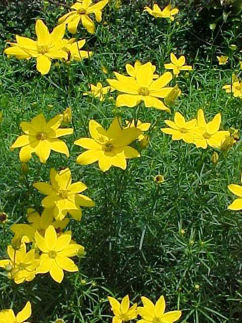 E coreopsis verticillata 39 zagreb 39 for No maintenance perennial flowers